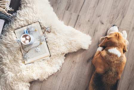 Beagle lies on the laminat floor near the sheepskin carpet with book and mug of hot chocolate Stock fotó