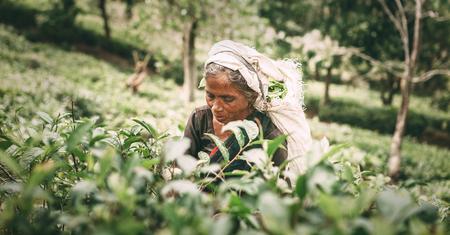 Ella, Sri Lanka - December 30, 2017: Old age female tea-picker picks up the fresh tea leaves in Ella town, Uva Province, Sri Lanka Archivio Fotografico
