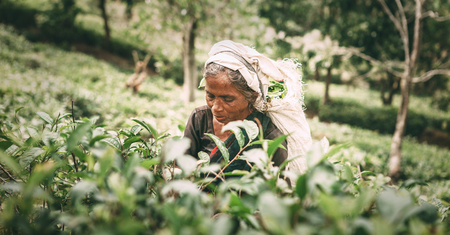 Ella, Sri Lanka - December 30, 2017: Old age female tea-picker picks up the fresh tea leaves in Ella town, Uva Province, Sri Lanka Stok Fotoğraf