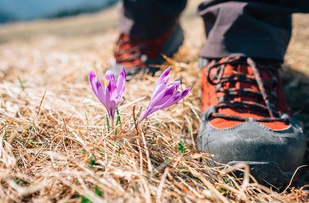 Step on traveler big boots near tender crocus flowers on mountain field Stock Photo