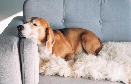 ビーグルは居心地の良いソファで眠る