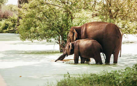 Mother and baby elefants drink water from marshy pond in national nature park Udawalawe, Sri Lanka