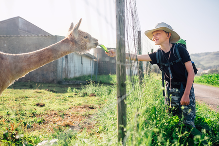 Boy traveler feeds a llama on llama farm  Stock Photo