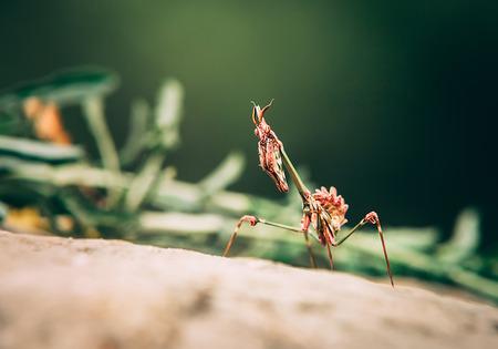 Praying mantis macro portrait on a rock. Hunting animal, waiting for prey 版權商用圖片
