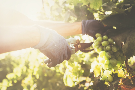 Vintage time. Close up image hands with scissors cutting a grape bunches Stok Fotoğraf