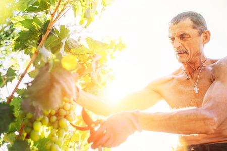 Man farmer cuts a grape bunches