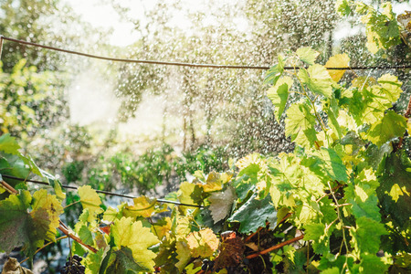 Irrigation system watering the grape Vineyard at summer day
