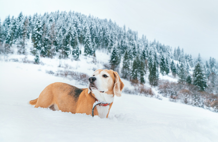 Beagle dog in deep snow portrait on the snow field at mountain with spruce forest background.