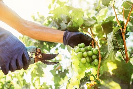 Close up image hands with scissors cutting a grape bunches. Foto de archivo - 125277956
