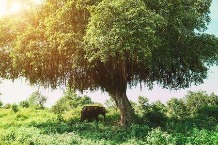 Asian elephant hiding under the big green tree shadow in the Udawalawe National Park, Sri Lanka Stock Photo