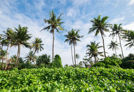 Palm trees treetops with a sunny blue sky background. Weligama, Sri Lanka. Standard-Bild