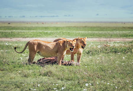Two lionesses with a zebra-pray ate up a lot and pulling meat to lion cubs. Ngorongoro Crater Conservation Area, Tanzania. Naturally animals habitation in Africa.