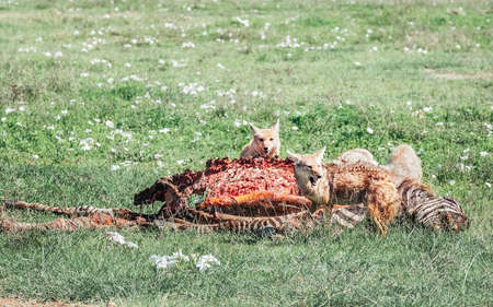 Black-backed jackals ripped with teeth zebra body remains after the lions' lunch in Ngorongoro Crater National wildlife park in Tanzania, East Africa. Feeding circle concept image.
