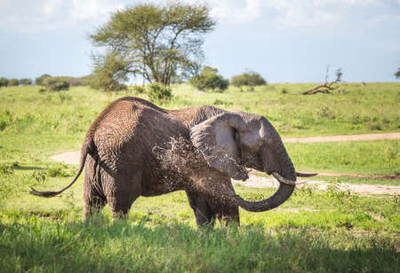 Lonely young bush elephant splashing itself with mud fountain in Tarangire National Park, Tanzania. African savanna elephant - the largest living terrestrial animal. Animals in the wild concept image
