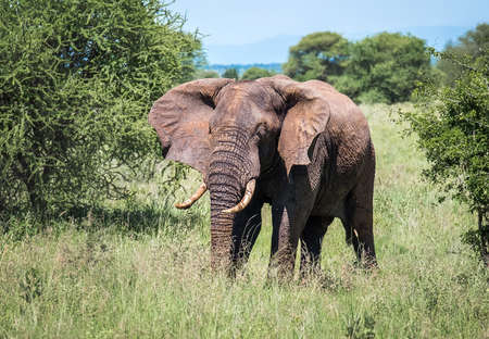 Lonely young bush elephant portrait in the Tarangire National Park, Tanzania. African savanna elephant - the largest living terrestrial animal. Animals in the wild concept image. Standard-Bild