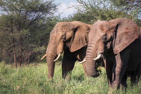 Two African bush elephants portrait in the Tarangire National Park, Tanzania. African savanna elephant -the largest living terrestrial animal. Standard-Bild