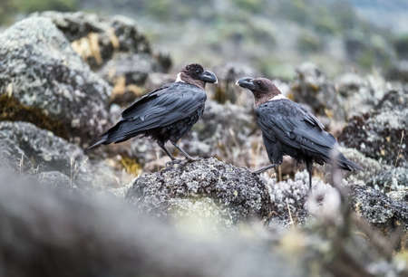 White-necked raven or Corvus albicollis - large birds couple on the volcanic cliffs ground on the Kilimanjaro cca 3900m altitude slopes. It is native to eastern and southern Africa.