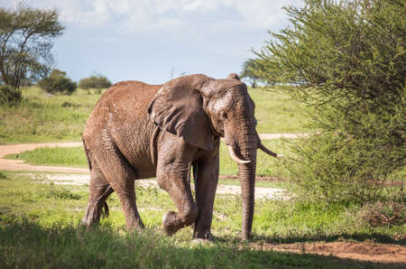 Lonely young bush elephant portrait in the Tarangire National Park, Tanzania. African savanna elephant - the largest living terrestrial animal. Animals in the wild concept image 免版税图像