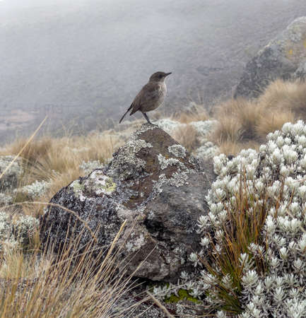 Moorland chat or Pinarochroa sordida also known as alpine chat or hill chat resting on rock shooted at Kilimanjaro National Park on cca 4000m altitude. Beautiful birds in natural habitat concept photo 免版税图像