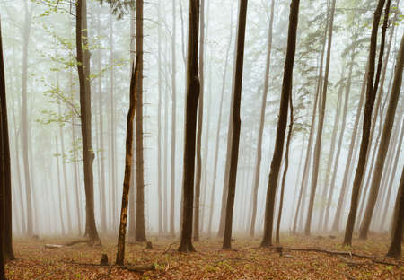 Autumnal misty foggy forest view. Trees are covered by morning fog. Traveling in Slovakia mountains.