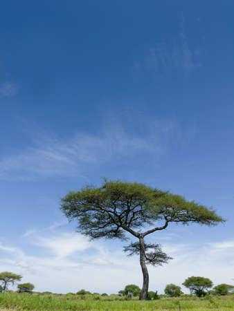 Lonely tree with beautiful wide-angle bright blue sky. Tarangire National Park, Tanzania's Manyara Region.
