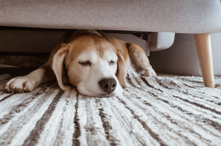 Cozy home interior image of a beagle dog lazy sleeping under the sofa in living room. Funny pets concept image. Standard-Bild