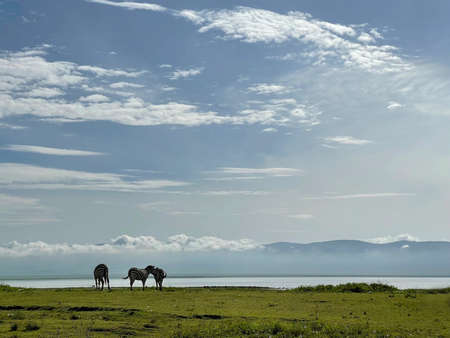 Tanzanian landscape with Grant's Zebra in the Ngorongoro Crater Conservation Area, Tanzania, East Africa. Beauty in wild nature and traveling concept.
