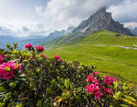 Beautiful red flowers blossom with early morning Dolomites Alps mountain landscape photo. Giau Pass or Passo di Giau - 2236m mountain pass in the province of Belluno in Italy.