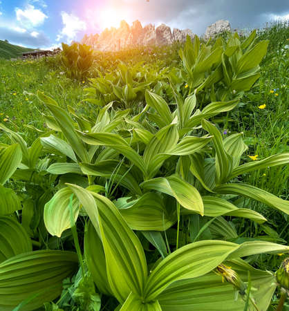 Fresh green juicy wide leaves close up with cliffs rocky peaks formation litted with morning sunrays landscape background near Cinque Torri in Belluno province, northern Italy.