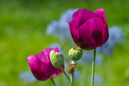 seedpod: Close up of two unusual color poppies with two spent seed pods