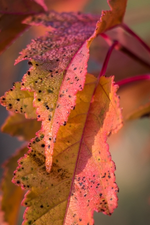 Close up of autumn maple leaves with soft morning light photo