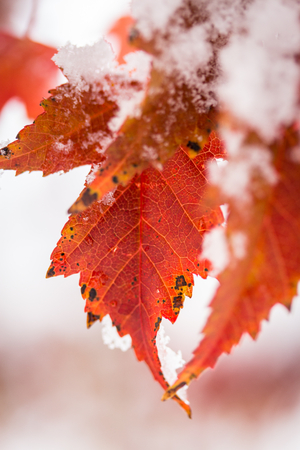 Small group of maple leaves change color as the fall season fades and the winter slowly approaches Stock Photo - 23813960