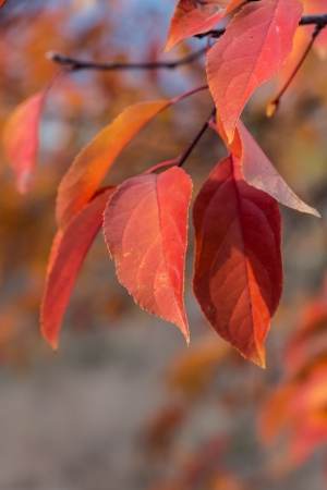 acer palmatum: Group of vivid maple leaves glowing in the evening sunset
