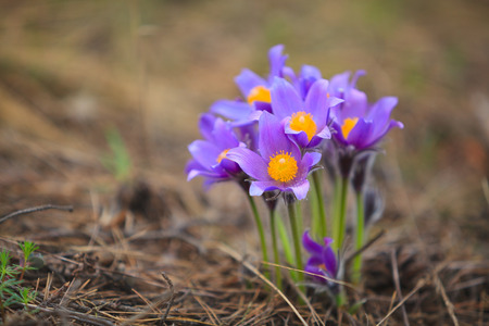 without people: Beautiful flower Crocus outdoors without people