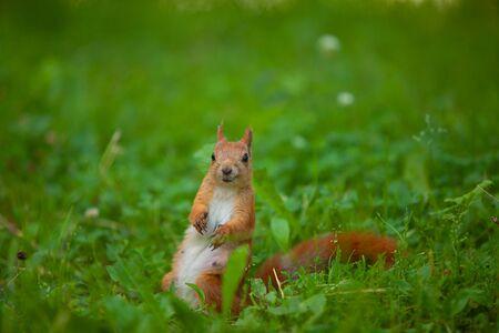 red squirrel sitting in wild