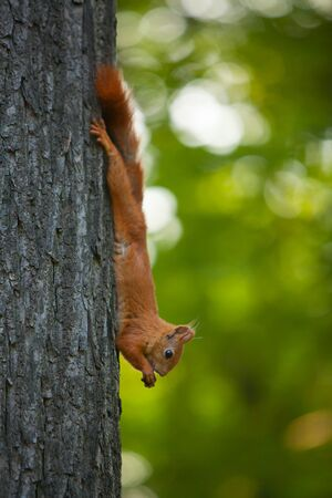 red squirrel sitting in wild