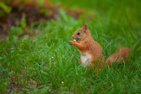 animal hair: red squirrel sitting in wild