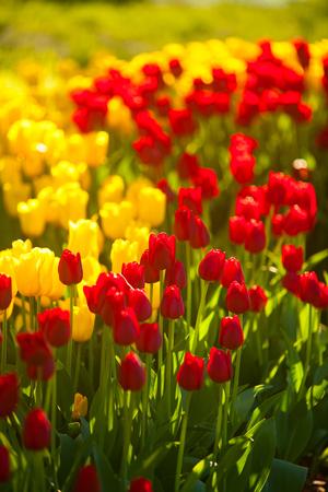 mooie achtergrondafbeelding van tulpen voor Vrouwendag