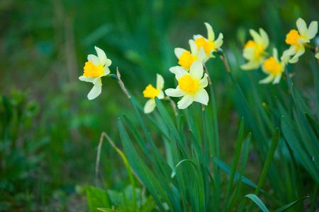 nice background image of autumn yellow daffodils