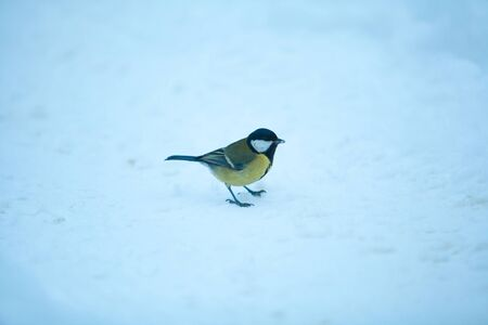 beautiful little bird of a titmouse in the winter on a blue background Stock Photo