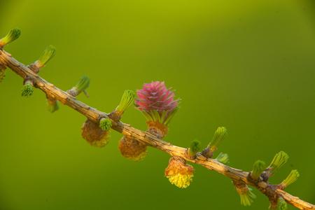 Fond de printemps magnifique avec une branche de mélèze en fleurs