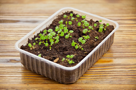 remontant strawberry seedlings in a pot on the table Stock Photo
