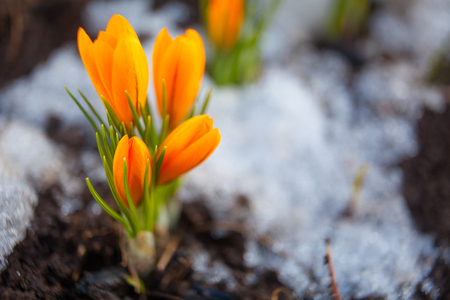 beautiful spring crocus flower on the background image Stock Photo