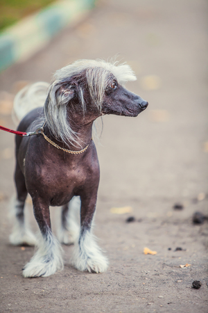 Chinese crested dog walks on the street on a leash Stock Photo