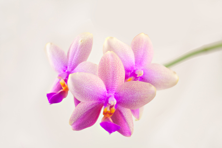Beautiful rare orchid in a pot on a white background Banque d'images