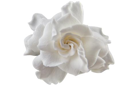 beautiful white flower gardenia on a White background