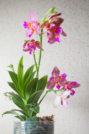beautiful orchid in a pot on the window Stock Photo