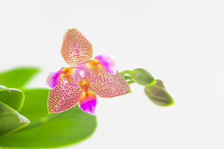 Beautiful rare orchid in a pot on a white background Archivio Fotografico