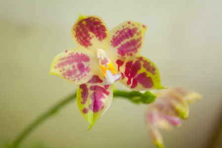Beautiful rare orchid in a pot on a blurred background