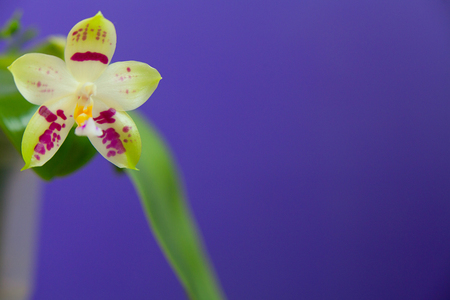 Beautiful rare orchid in a pot on a blue background
